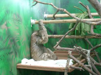 An adult sloth inside the Sloth Sanctuary.