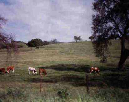 cows near Solvang, 1998 Solvang Double Century