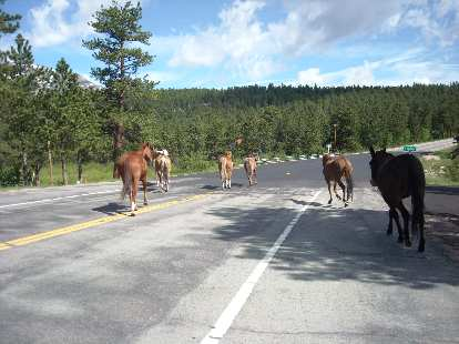 [Mile 95, 9:38 a.m.] I was nearly taken out by these horses crossing the road.