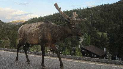 Large elk on highway in Rocky Mountain Park.