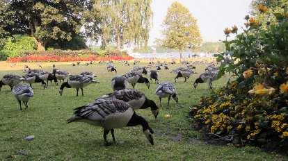 Geese at Nobelparken.