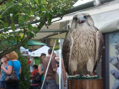 A live owl.