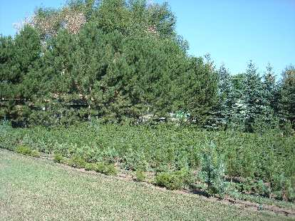 Lots of bristlecone pine---the specialty of Kirk of LaPorte Avenue Nursery.