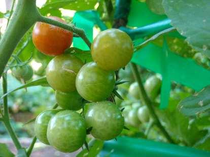 One ripe tomato among many.
