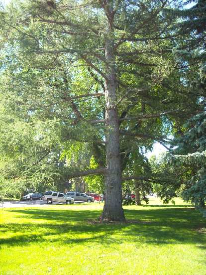 This is a European Larch in City Park, at the corner of Oak St. and Jackson Ave. in Fort Collins.
