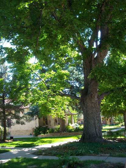 This is a Norway Maple at 121 W. Mountain Ave. in Fort Collins.  This particular one is a #1 champ.