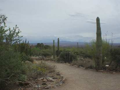 Cacti behind the Desert Museum.