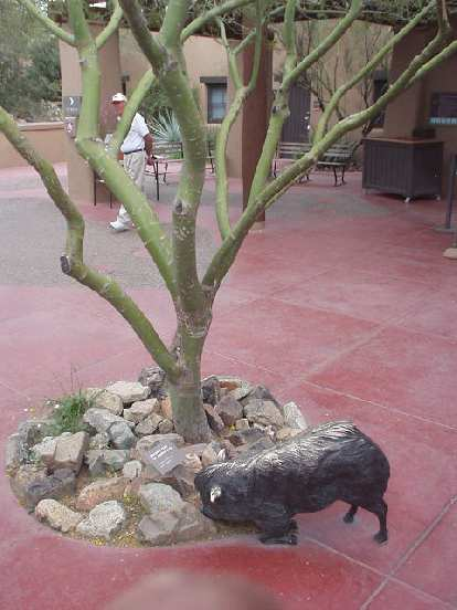 Tree and pig (?) at the Desert Museum.