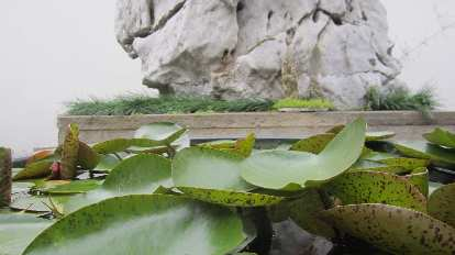 Water lily leaves in front of stone.