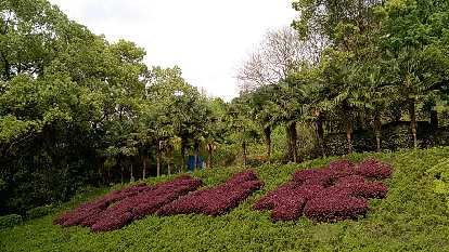 Bushes shaped as Chinese characters in Wuyishan.