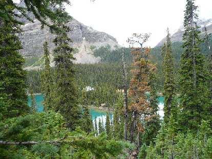The view of Lake O'Hara through towering trees.