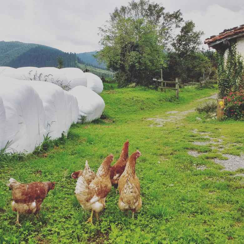 Chickens, white bags of compost and a yellow Camino de Santiago route marking in Manitibar-Arbatzegi Gerrikaitz, Spain