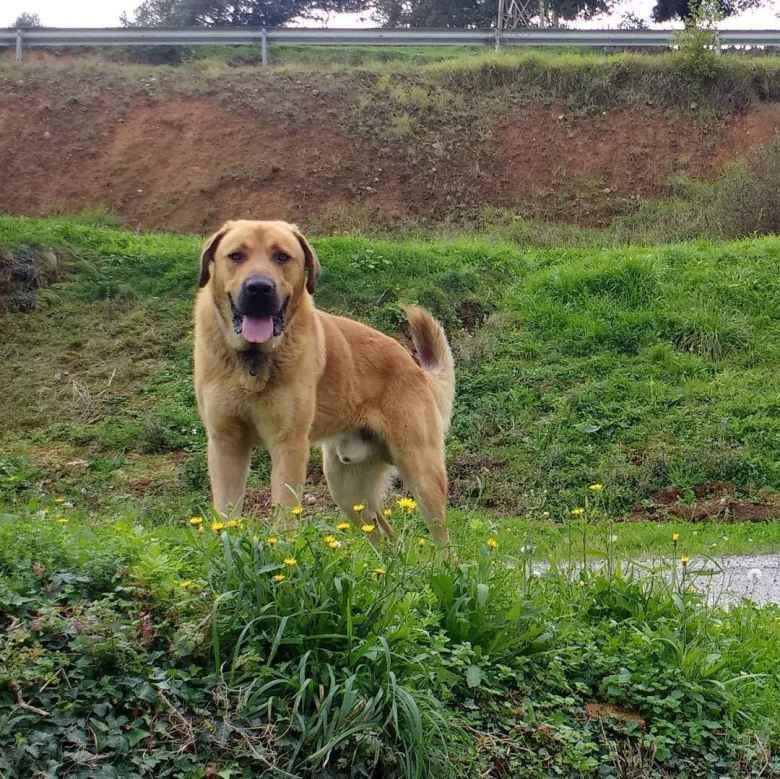 A dog wagging its tongue near Doriga, Spain.
