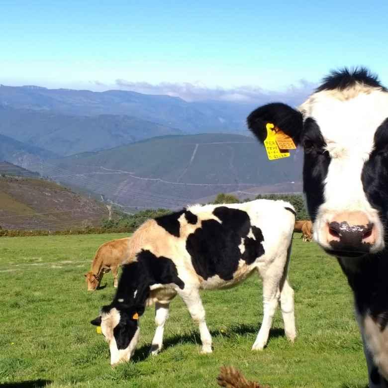 Cows in Berducedo, Spain.