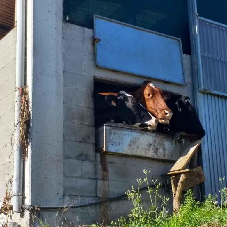 Cows poking their heads out the window near Mazaricos, Spain.