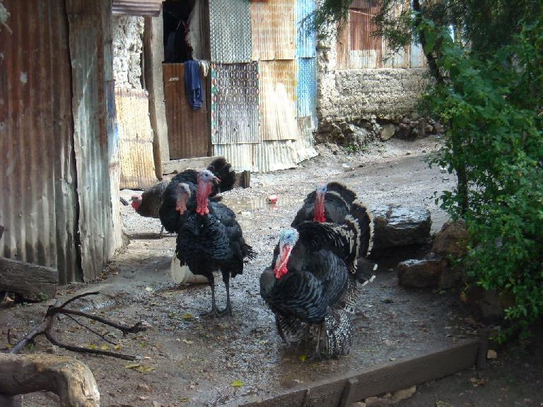 Turkeys in Capulalpan de M?ndez. (December 21, 2009)