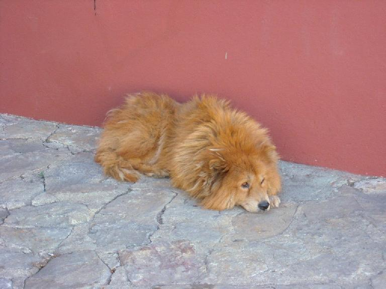 Another lazy dog, this one in Oaxaca. (December 23, 2009)