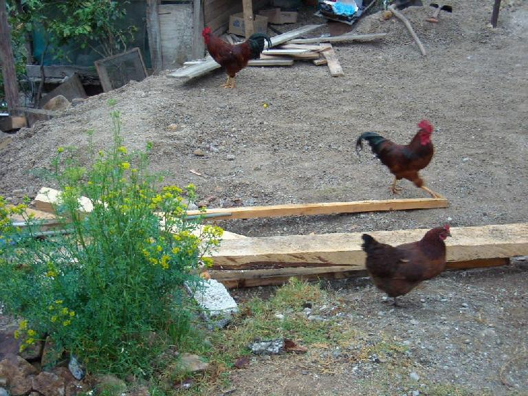 Gallos y gallinas  (roosters and hens). (December 21, 2009)