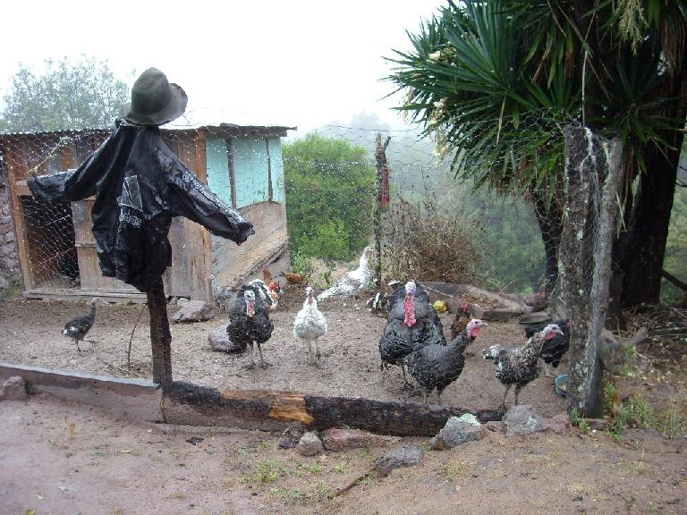 Turkeys and other birds in Capulalpan de M?ndez. (December 21, 2009)