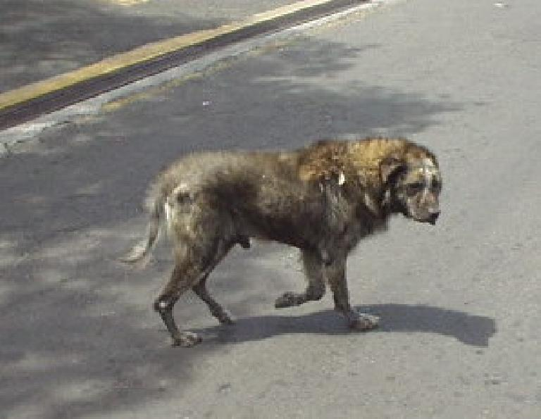 """""""Um, that dog doesn't look too healthy,"""" observed Tori.  Nevertheless, we saw him wandering around Boquete almost every day! (March 1, 2007)"""
