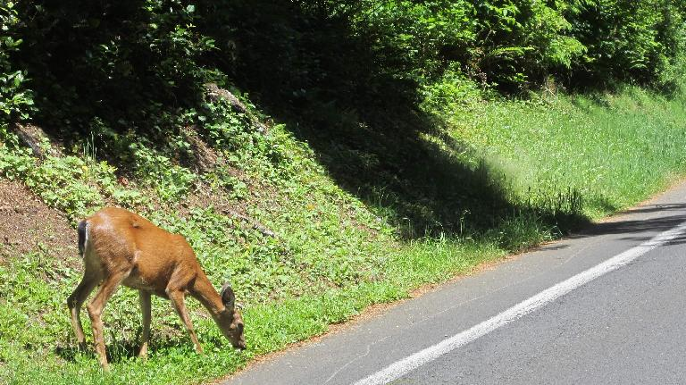 deer on road to Astoria Column
