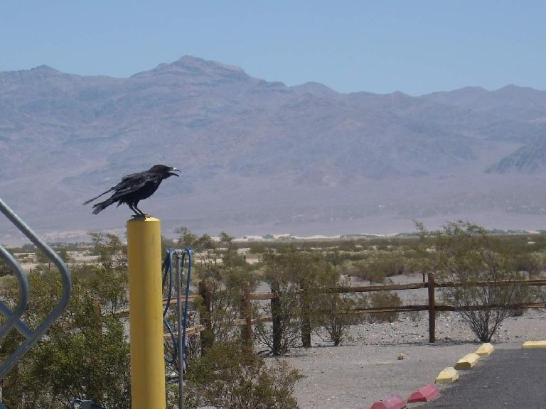 One of the many crows at Stovepipe Wells. (July 16, 2011)