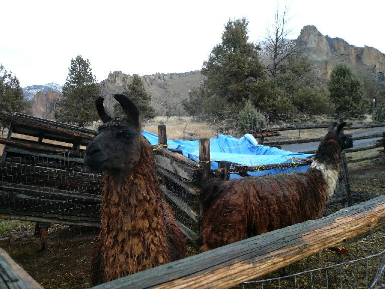 The animals included llamas...