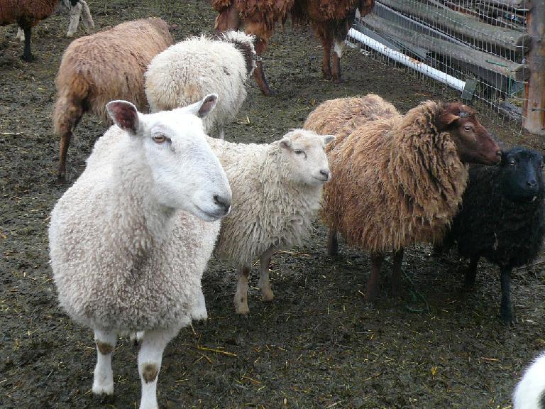 ... and sheep.