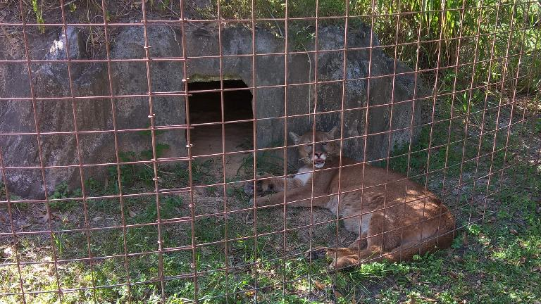 Aspen Echo, a cougar.