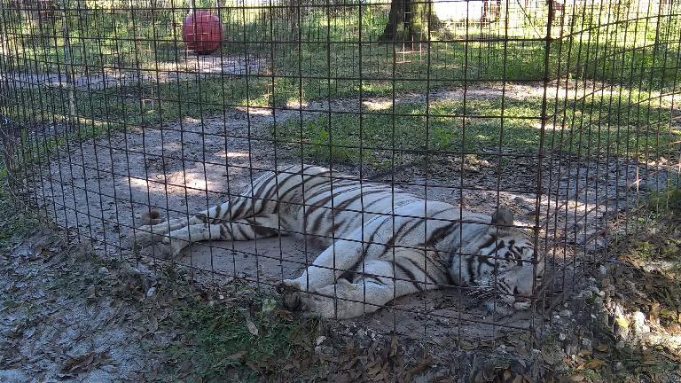 Sapphire, a white tiger.