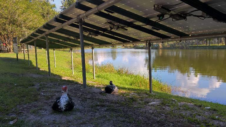 Turkeys beneath some solar panels.