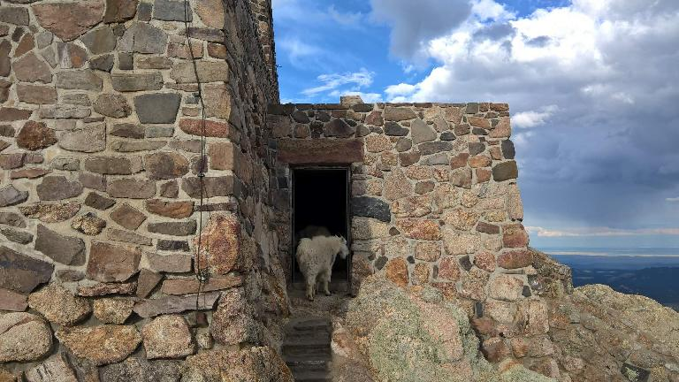A mountain goat at the stone lookout tower at the top of Harney Peak.