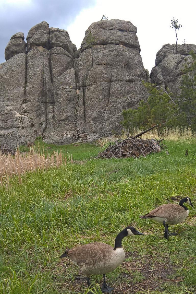 Two geese at Sylvan Lake.  (May 27, 2016)