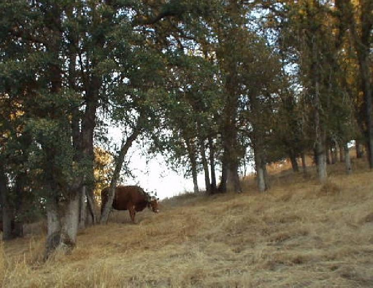 [Mile 42, 7:36 a.m.] One of the several animals seen during the ride.  This is a cow.