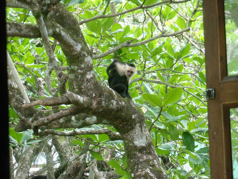 A howler monkey outside the window of the breakfast room.