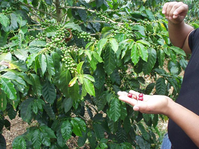 Non-ripe coffee beans are green.  Ripe ones are red.