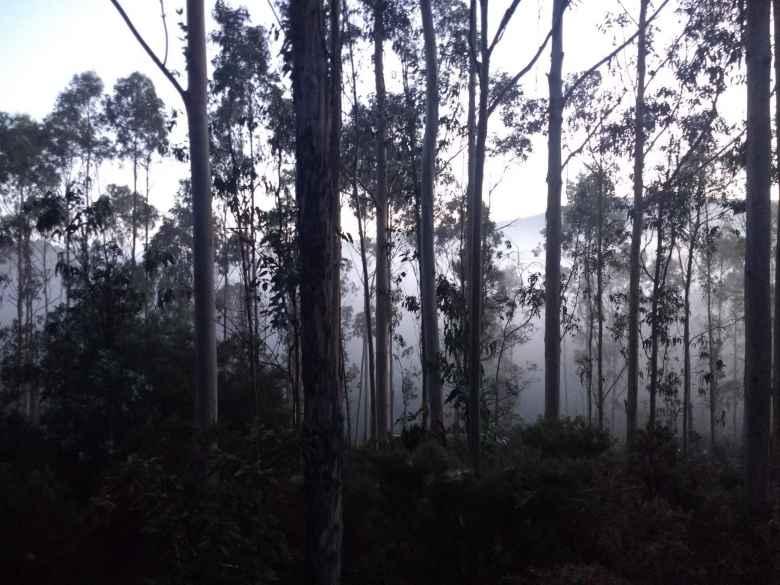 Fog through trees along the Camiño de Fisterra in the early morning.