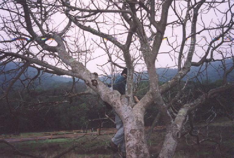 Sarah climbing a tree in the early goings of our 12-mile hike... (December 24, 2001)