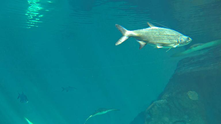 A tarpon, I think.
