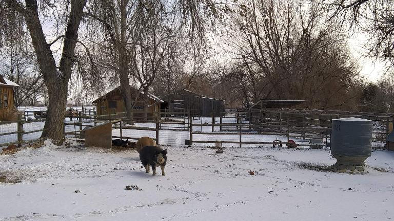 pigs in snow, north Fort Collins