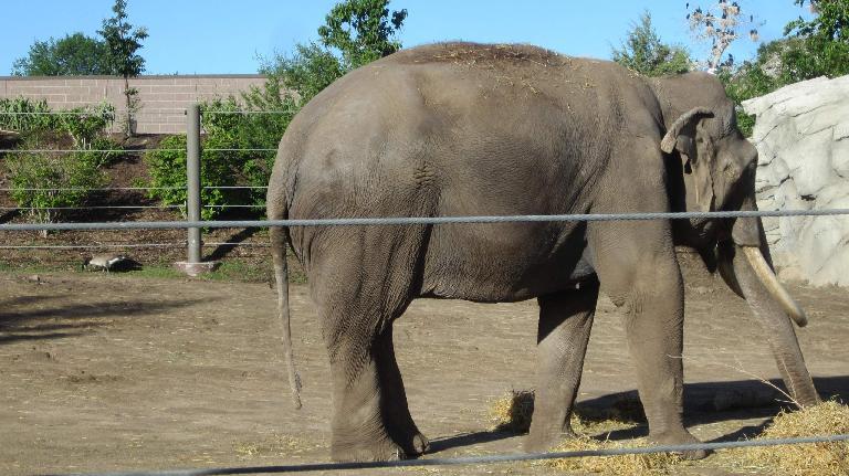 Elephant at the Denver Zoo.