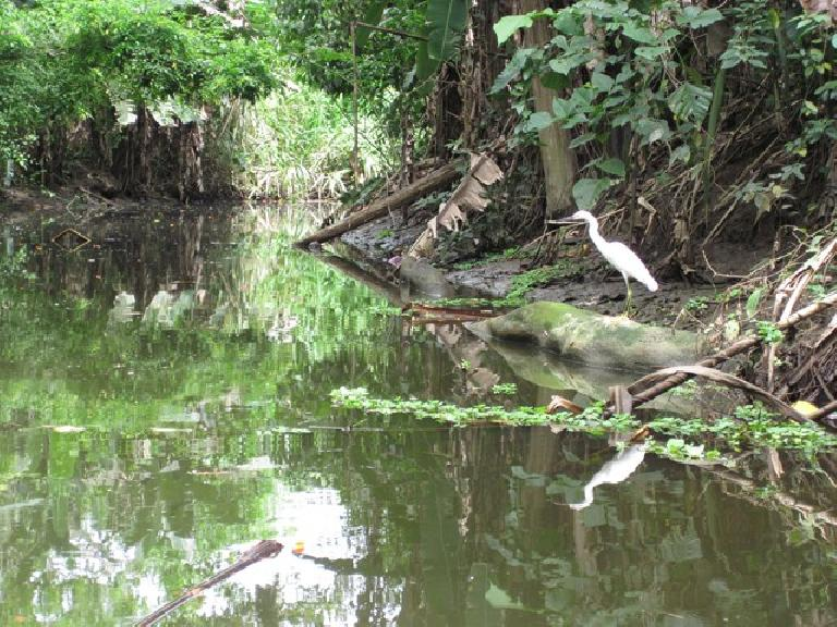 Snowy Egret on the canoe tour by the Sloth Sanctuary. Photo: Tori.