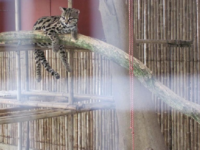 Margay cat at the Jaguar Rescue Center. Photo: Tori.