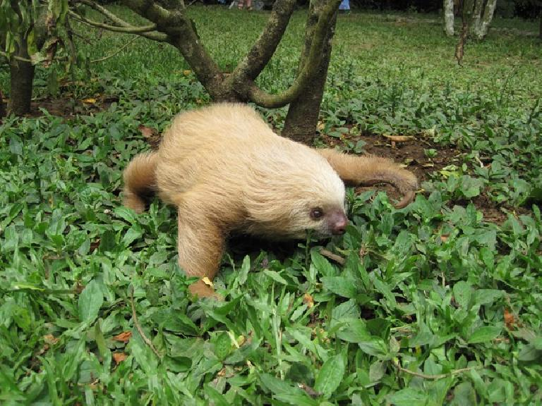 Runaway sloth at the Jaguar Rescue Center.  They can move quickly when they want to. Photo: Tori.