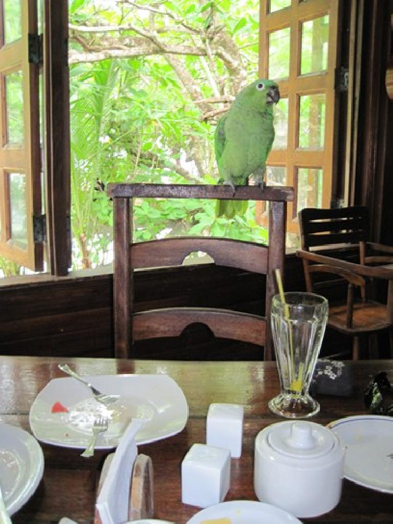 Verde, the multilingual parrot at breakfast in Cahuita. Photo: Tori. (March 21, 2011)