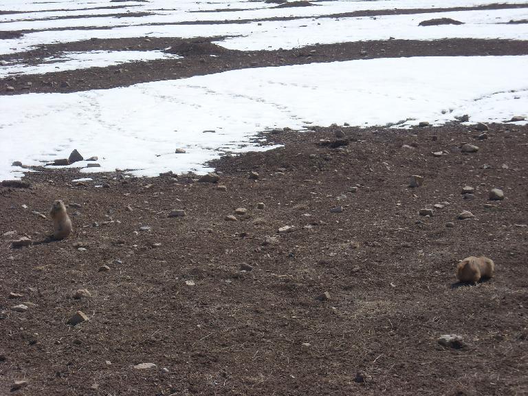 Prairie dogs at Coyote Ridge.