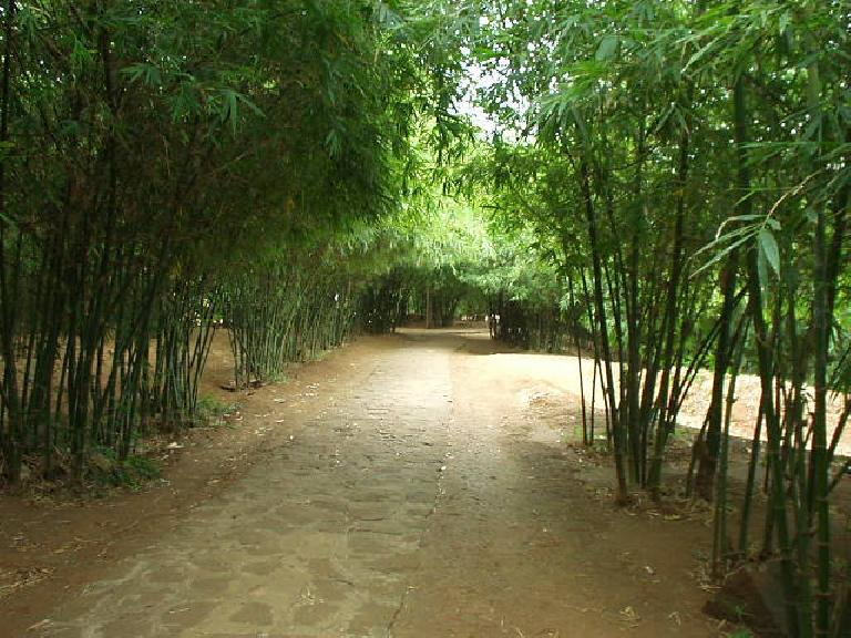 Dense bamboo forest over the Vin Moc tunnels.