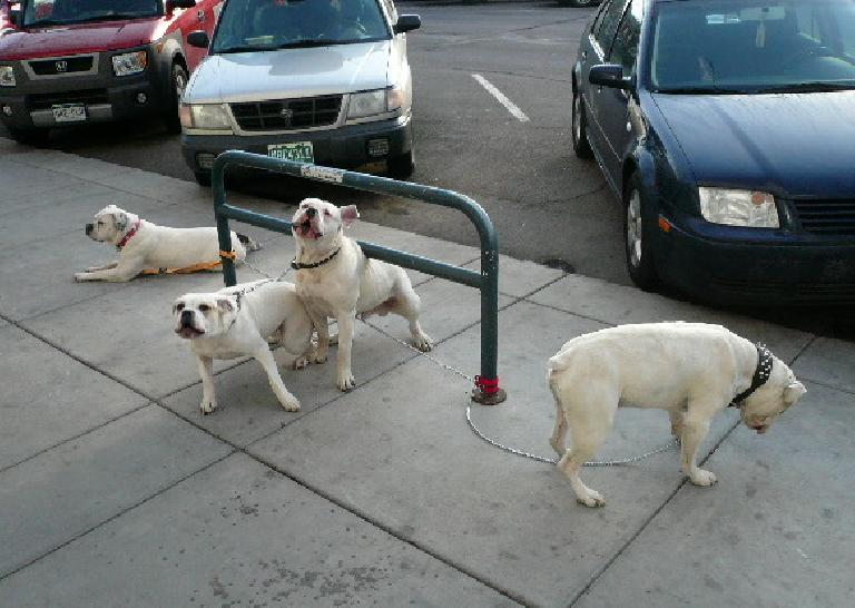 Four white dogs by a bike rack on the sidewalk in front of three cars