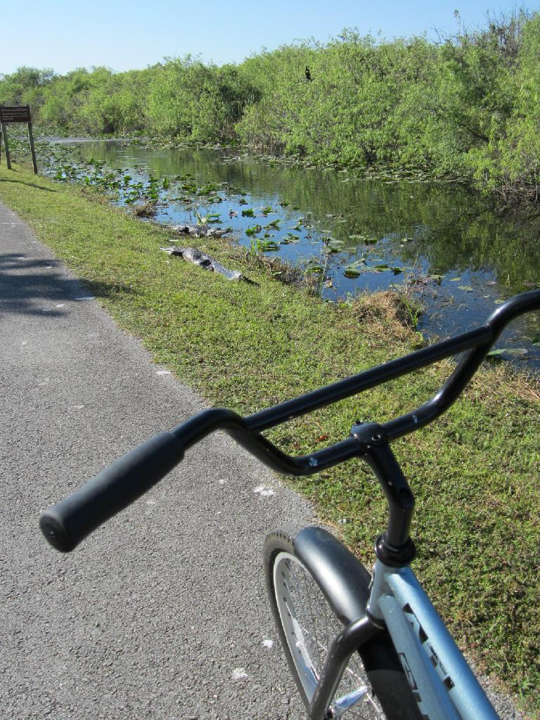 Just moments after renting a bicycle from the Shark Valley Visitor Center, I saw alligators already!