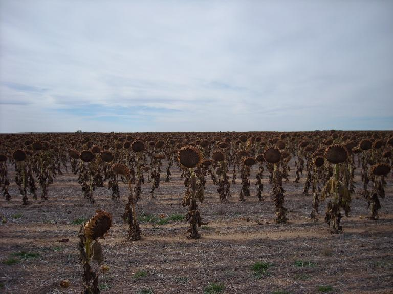 [Mile 116] Sunflower fields in Wyoming, all withering away.  Fall is here.